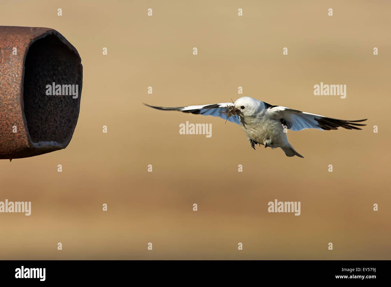 Snow Bunting Mannchen Tragen Mucken Nest Alaska Stockfoto Bild
