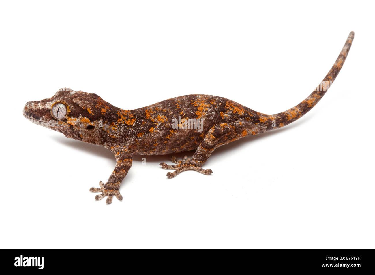 """Neue Caledonian holperige Gecko """"Rot"""" auf weißem Hintergrund Stockbild"""