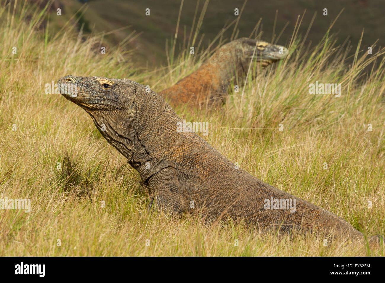 Konfrontation zwischen Komodo-Warane - Rinca Indonesien Stockbild