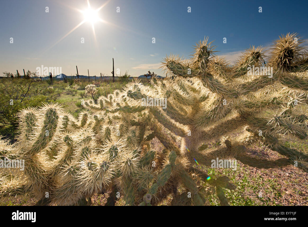 Teddy Bear Cholla Cactus, Opuntia Bigelovii, Organ Pipe National Monument, Arizona, USA Stockfoto