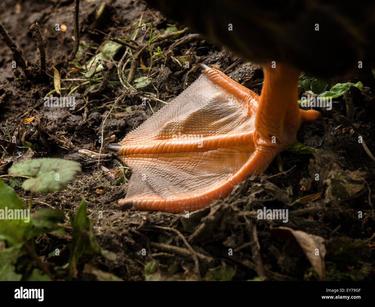 Nahaufnahme von Orange webbed Fuße der Graugans, UK. Stockbild
