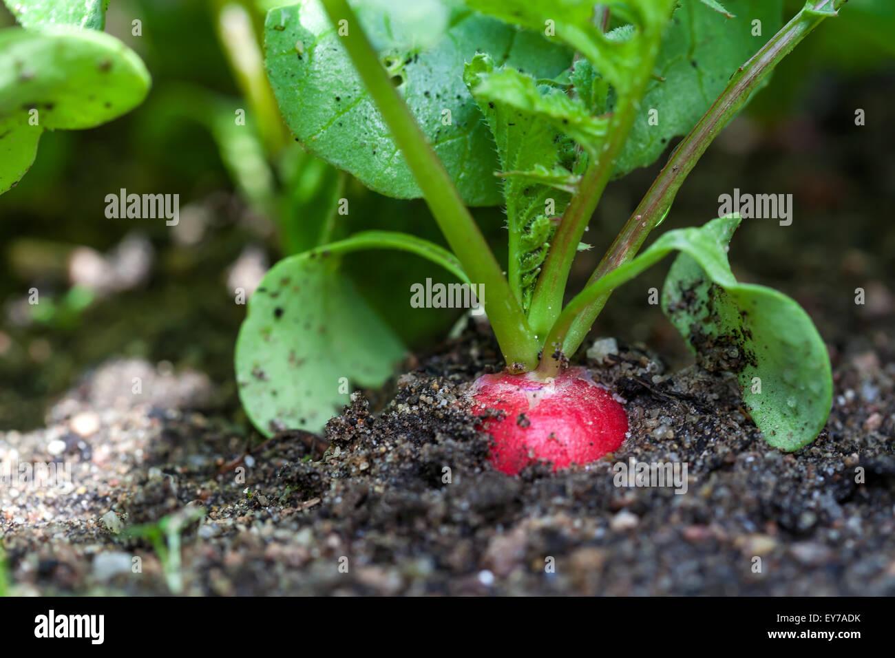 Reife Rote Radieschen In Den Garten Nahaufnahme Stockfoto Bild