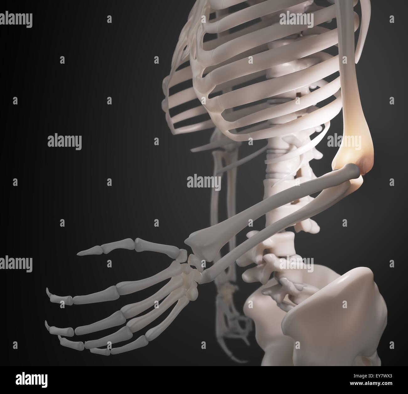 Menschliches Skelett - Arm und Ellenbogen Anatomie Stockfoto, Bild ...