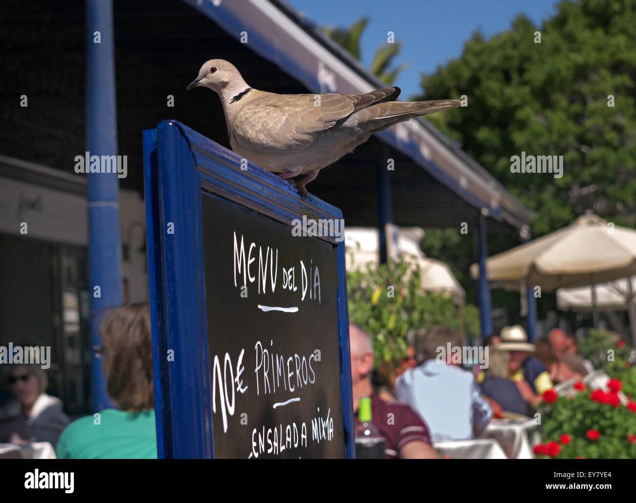 Afrikanerin collared dove wartet erwartungsvoll Essensreste von alfresco Restaurant Diners Lanzarote-Kanarische Stockbild