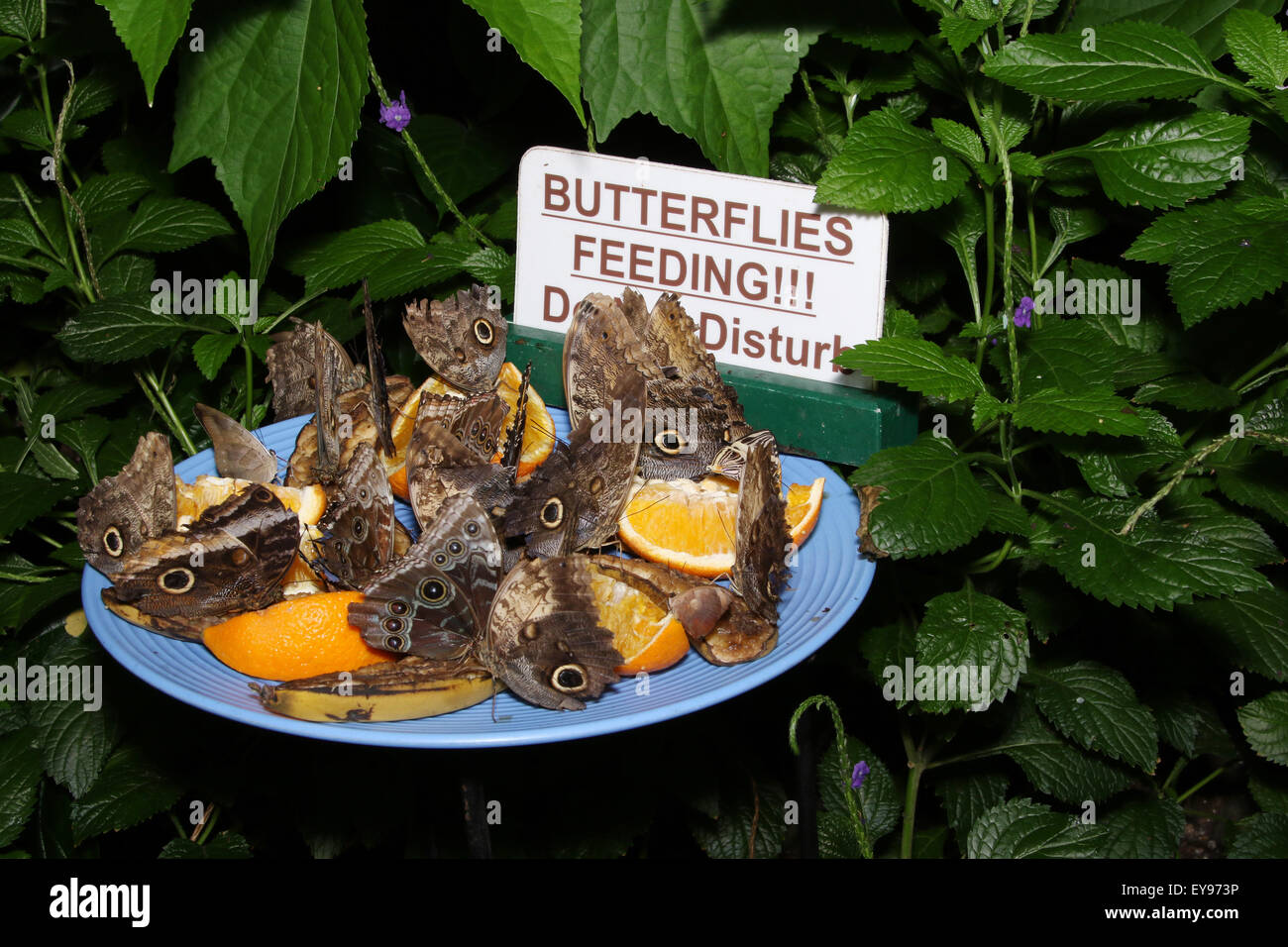 Schmetterlinge Ernahren Sich Von Obst Schneiden Zeichen Die Lautet