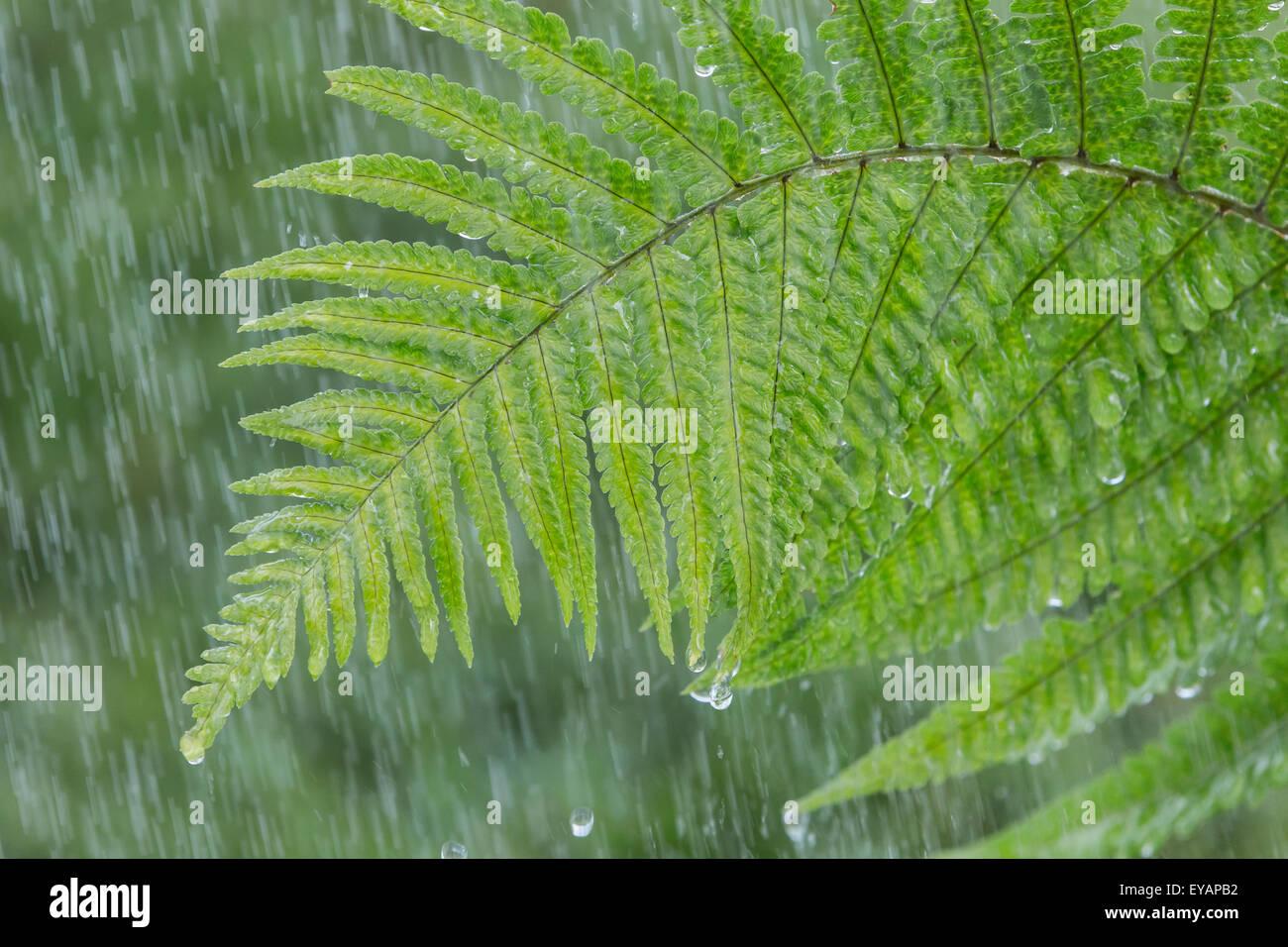 Ein Farn im Regen Stockbild