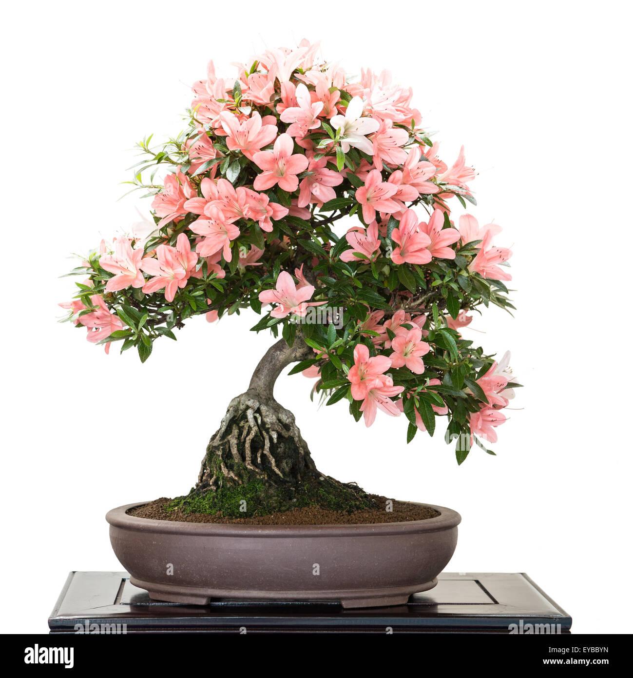 bonsai azalea stockfotos bonsai azalea bilder alamy. Black Bedroom Furniture Sets. Home Design Ideas