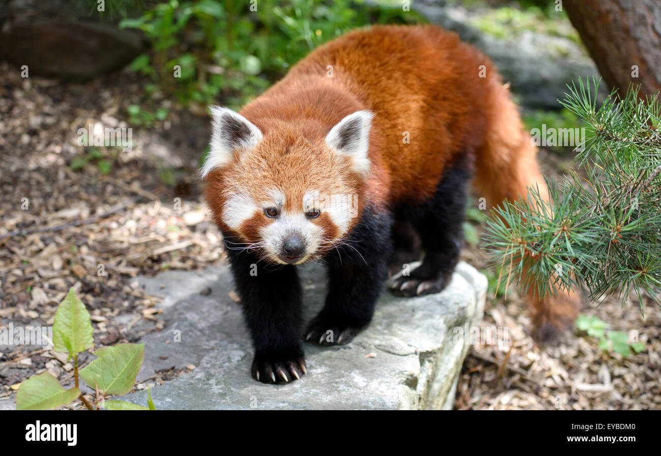 Kopenhagen, Dänemark. 13. Juli 2015. Ein roter Panda im Zoo in Kopenhagen, Dänemark, 13. Juli 2015. Foto: Stockbild