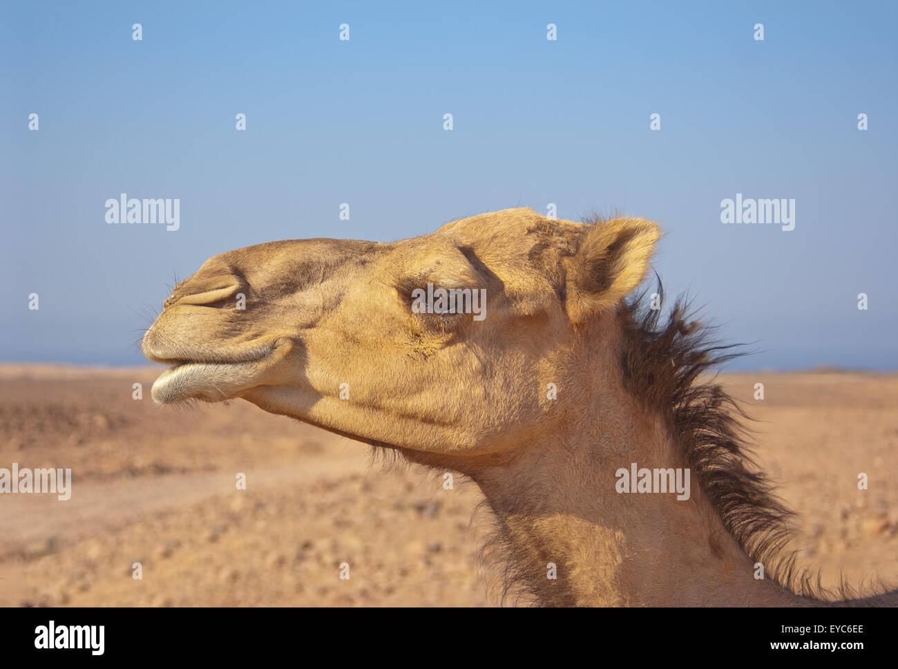 e371c2775746 Camel In Outback Stockfotos & Camel In Outback Bilder - Alamy