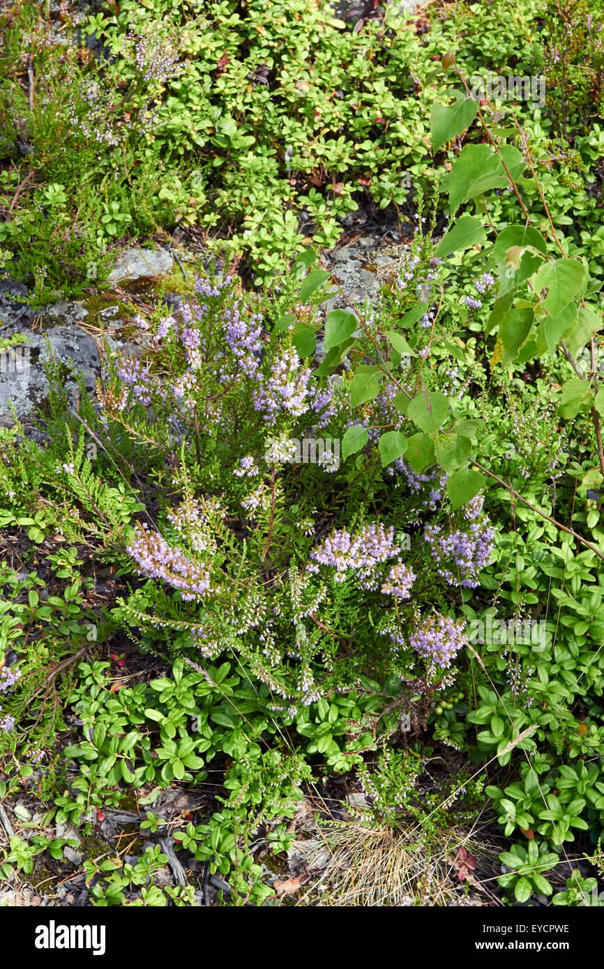 Wald Boden Pflanzen Finnland Stockfoto Bild 85718570 Alamy