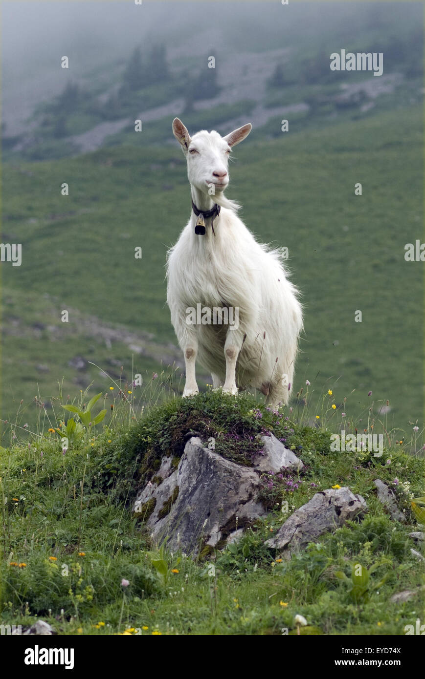 Besiedler Auf Weide Im Appenzellerland in der Schweiz- Stockbild