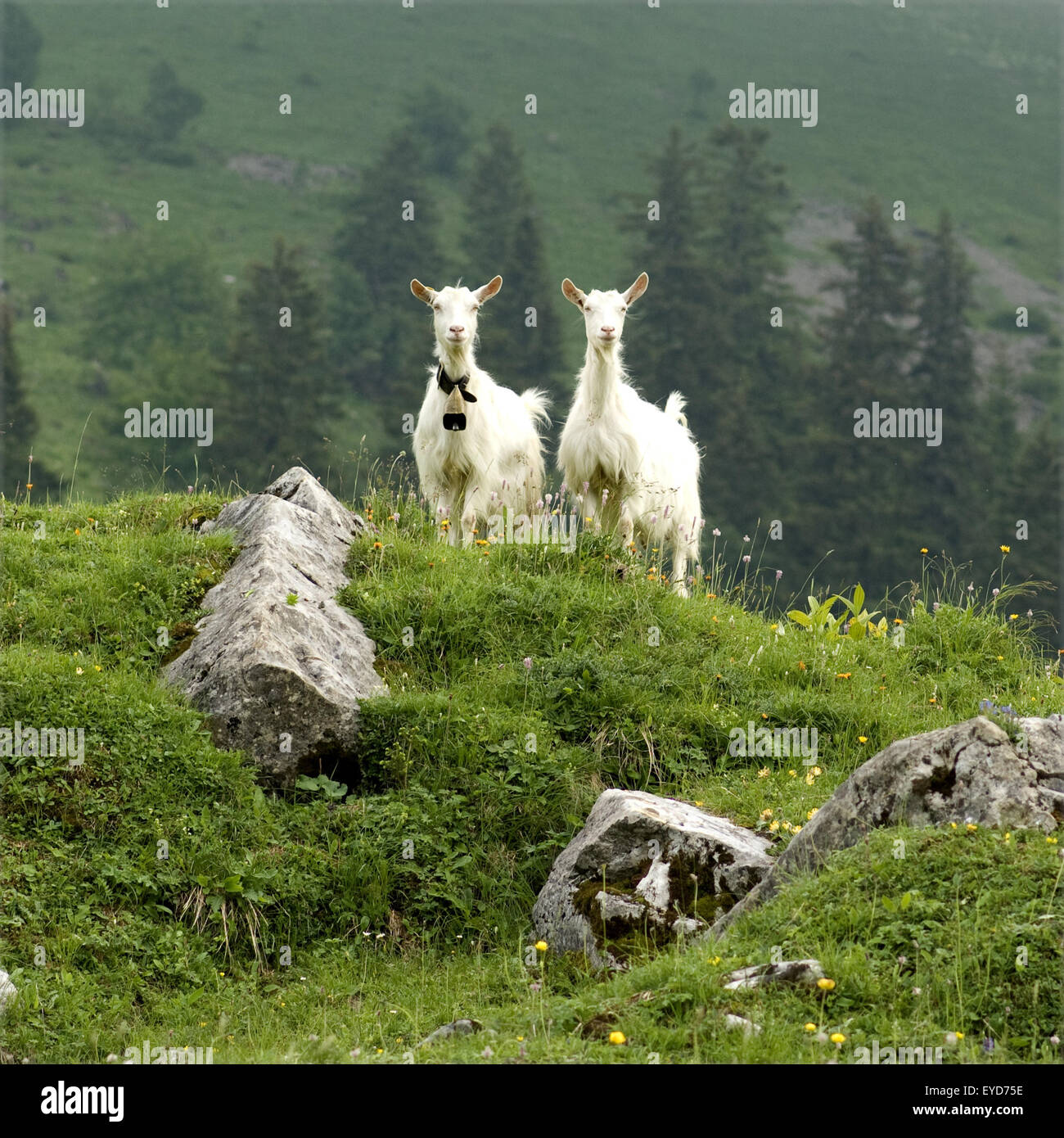 Besiedler Auf Weide Im Appenzellerland in der Schweiz, Stockbild