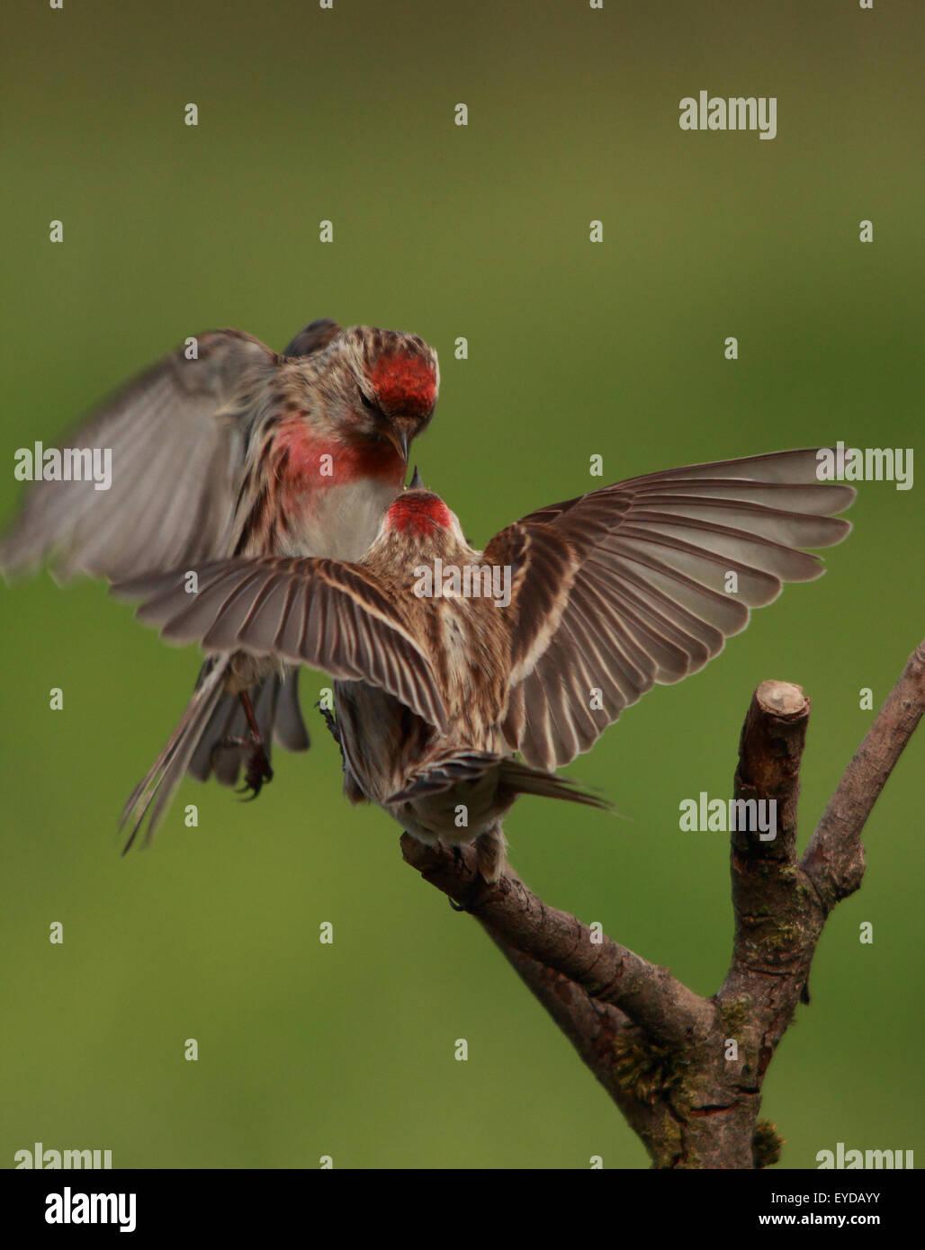 Ein paar schöne weniger Redpoll, auch bekannt als Redpoll, in halben Luft kämpfen und die Hälfte Stockbild