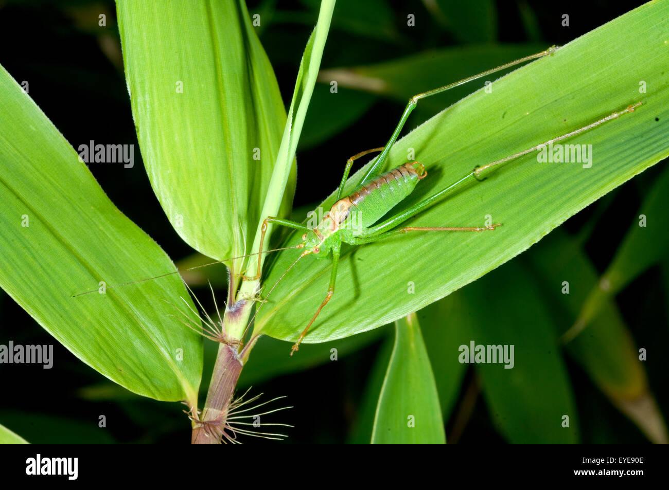 Kurzschwaenzige Plumpschrecke, Isophya brevicauda Stockbild