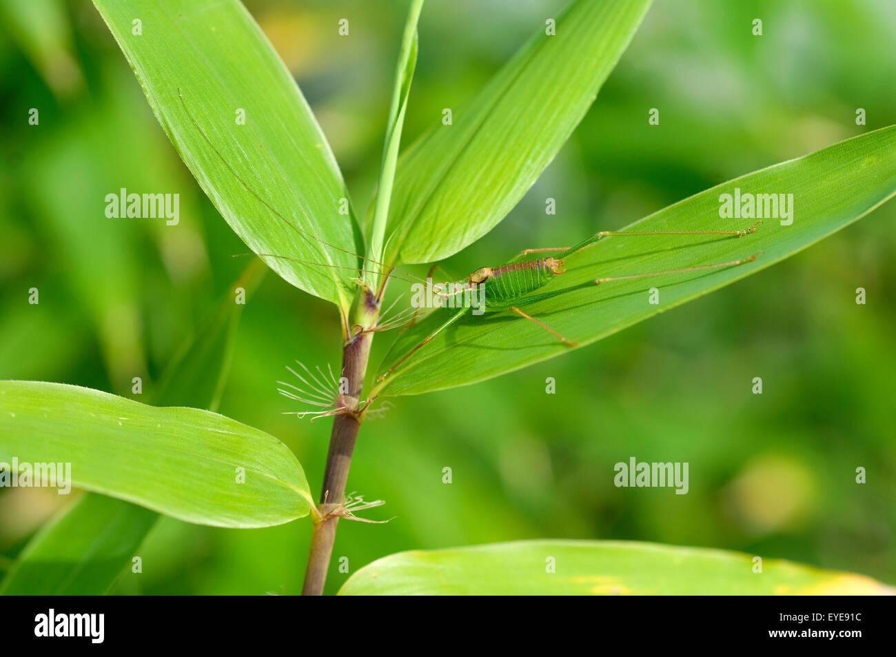 Kurzschwaenzige Plumpschrecke, Isophya, Mimikry Stockbild