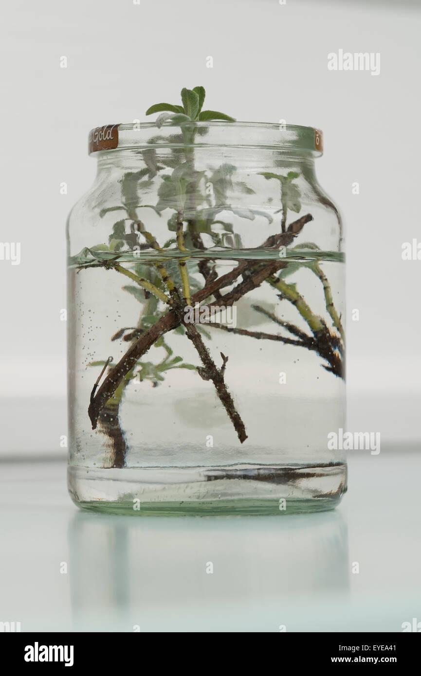 salbei wächst in wasser in einem alten glas schneiden stockfoto