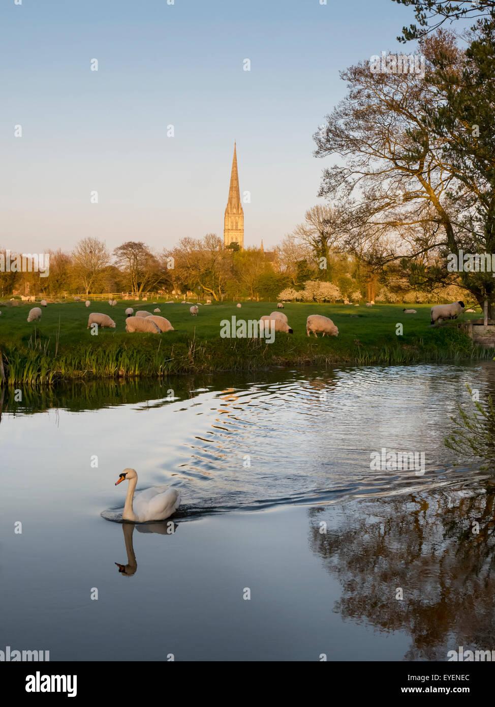 Kathedrale von Salisbury mit weidenden Schafen und ein Schwan im Vordergrund; Salisbury, Wiltshire, England Stockfoto