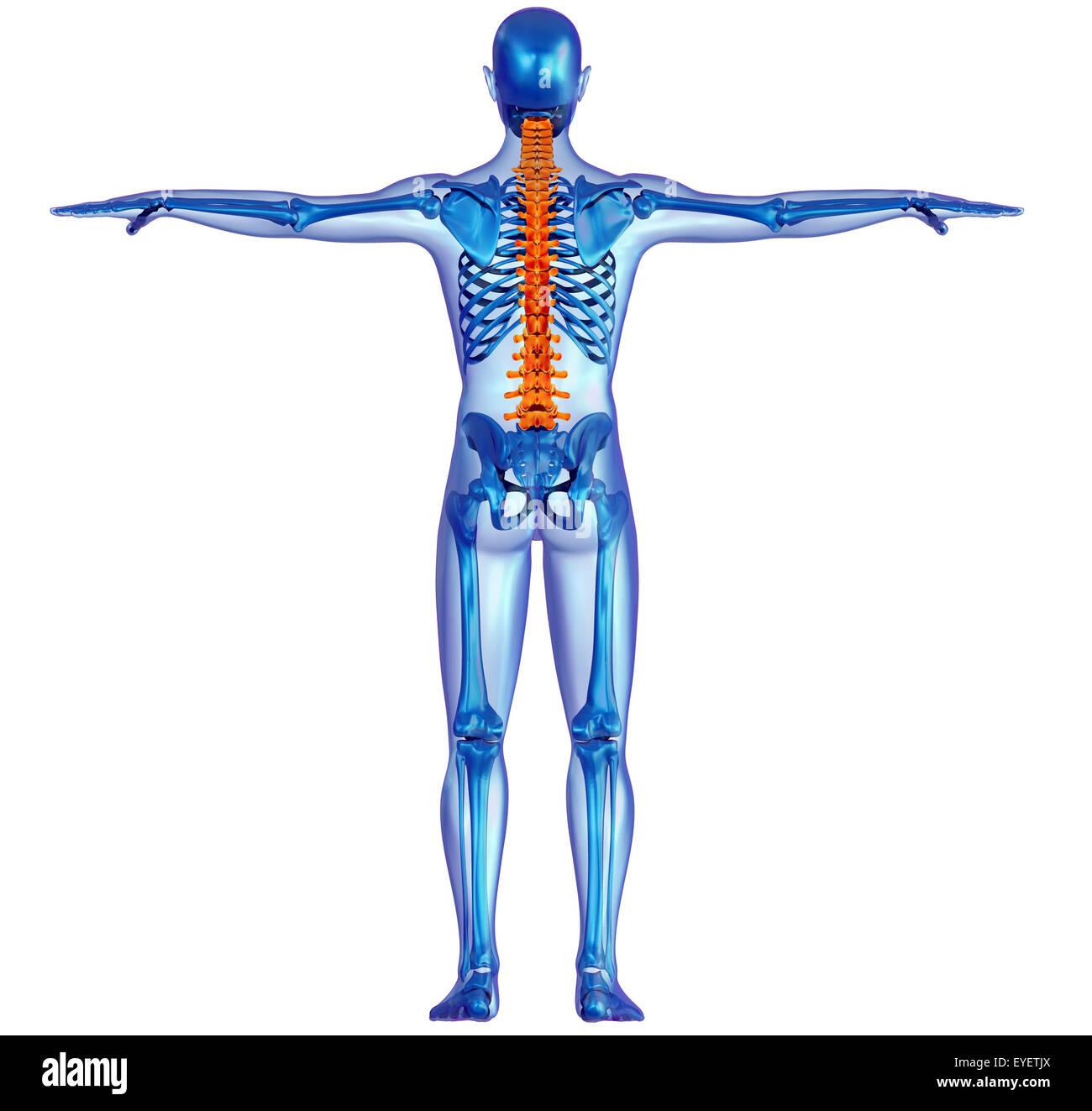 Rückseitige Ansicht x-ray einen menschlichen Körper und Skelett mit ...