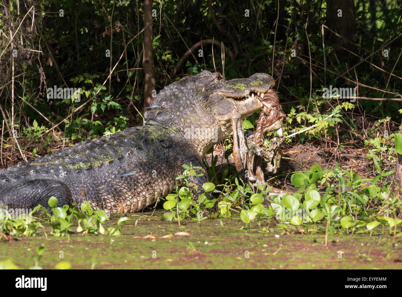 Amerikanischer Alligator (Alligator Mississippiensis) Essen, ein Reh, Brazos Bend State Park, Needville, Texas, Stockbild