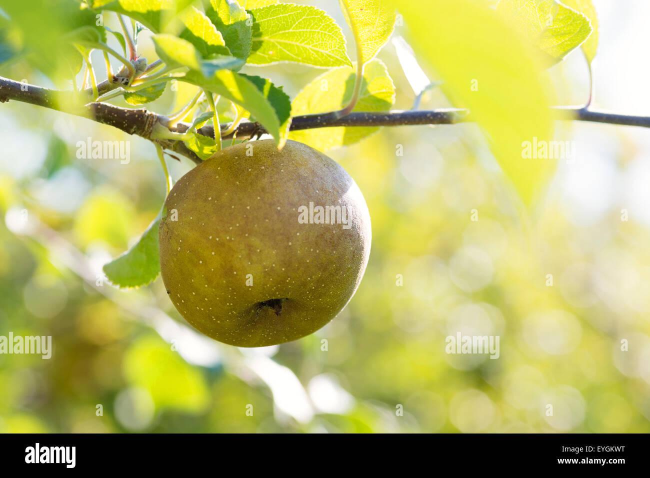 Die Sonne strahlte durch einen Obstgarten mehlige Äpfel. Stockbild