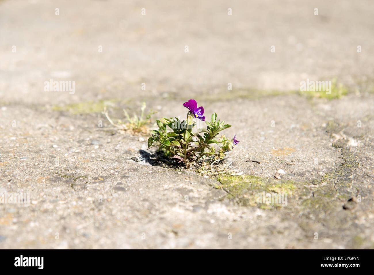 einsame Blume Viola wachsende aus dem Spalt Stockbild