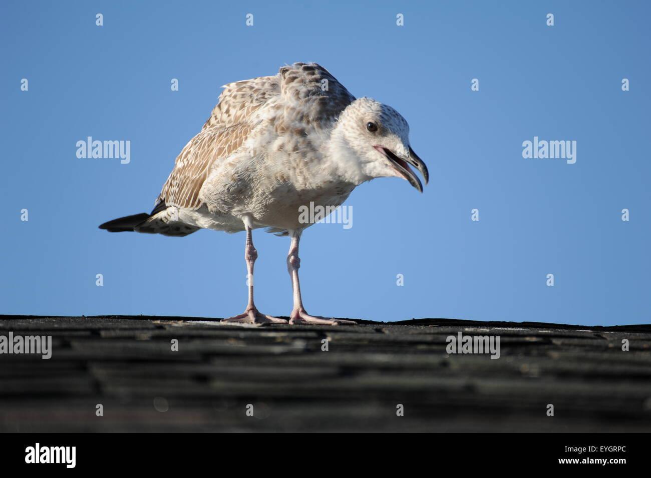 Junge Möwe schreiend auf dem Dach mit blauem Himmel in den Hintergrund Junge Schreiende Möwe Auf Dem Dach Stockbild