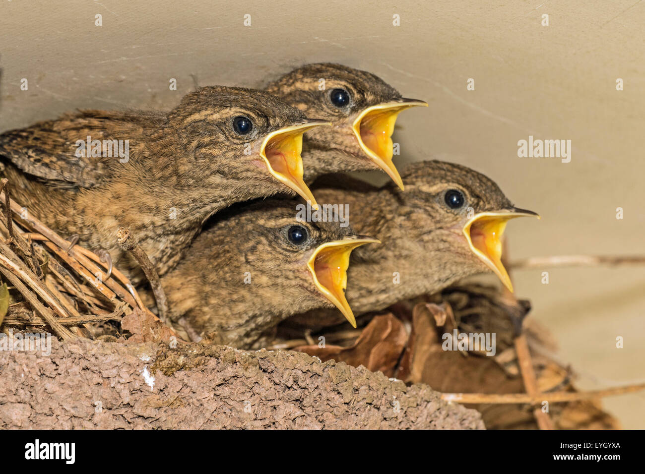 Young European Zaunkonige Troglodytes Troglodytes Nest Betteln
