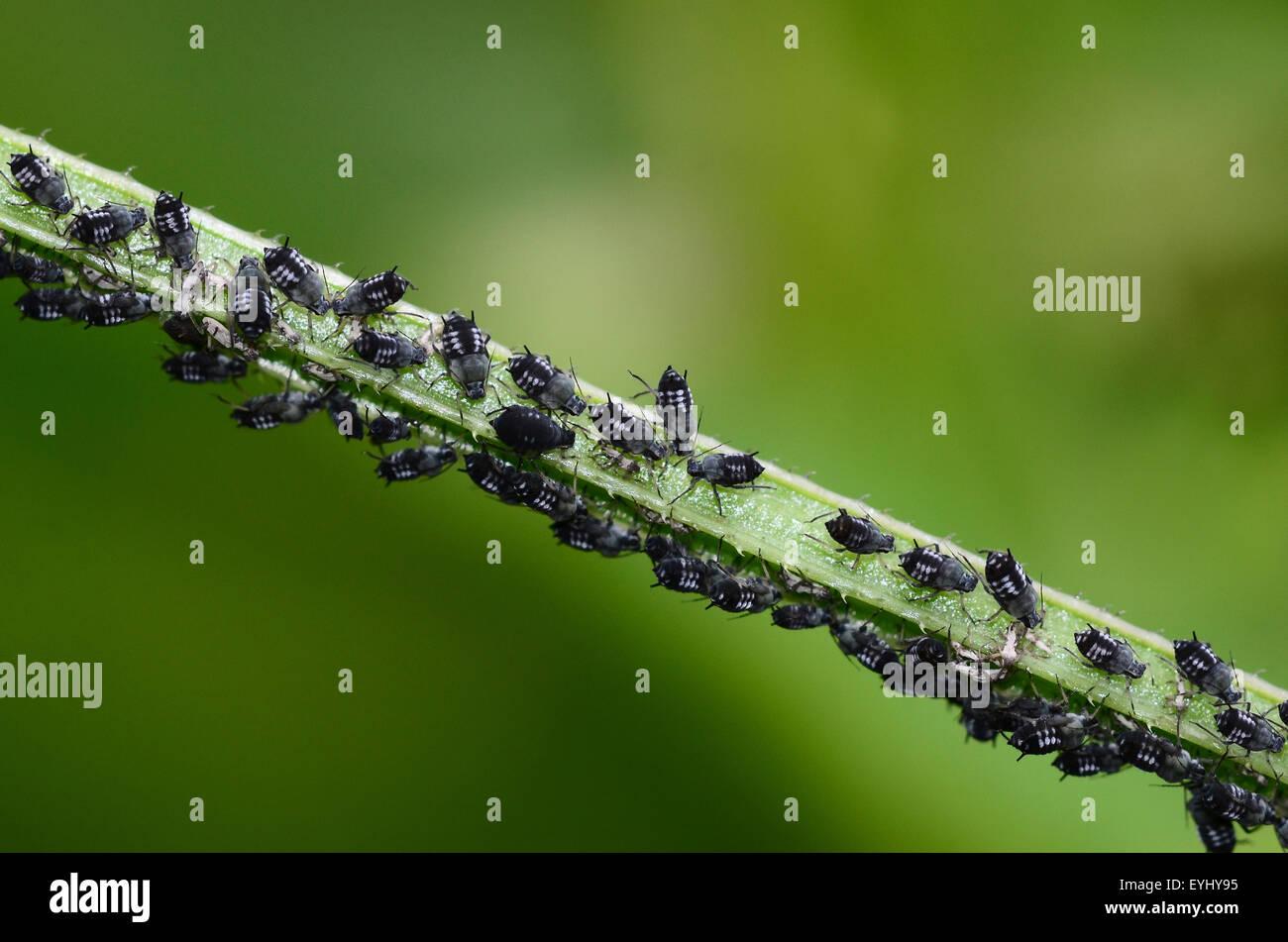 Schwarze Bohnen Blattlause Stockfotos Schwarze Bohnen Blattlause