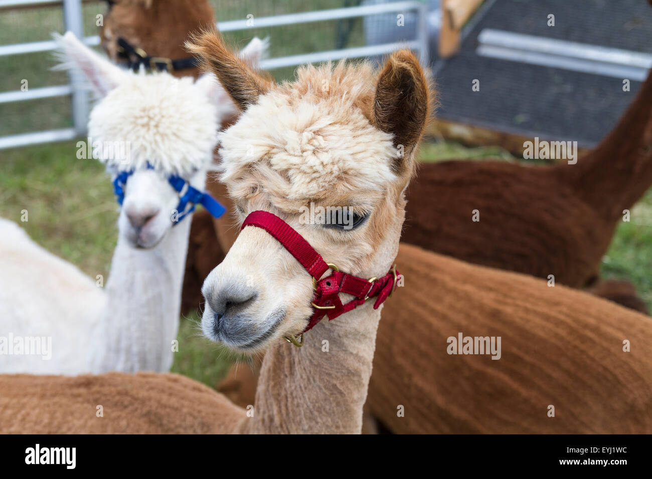 Alpakas auf dem Display an der 2015 Haddington Agricultural Show Stockbild