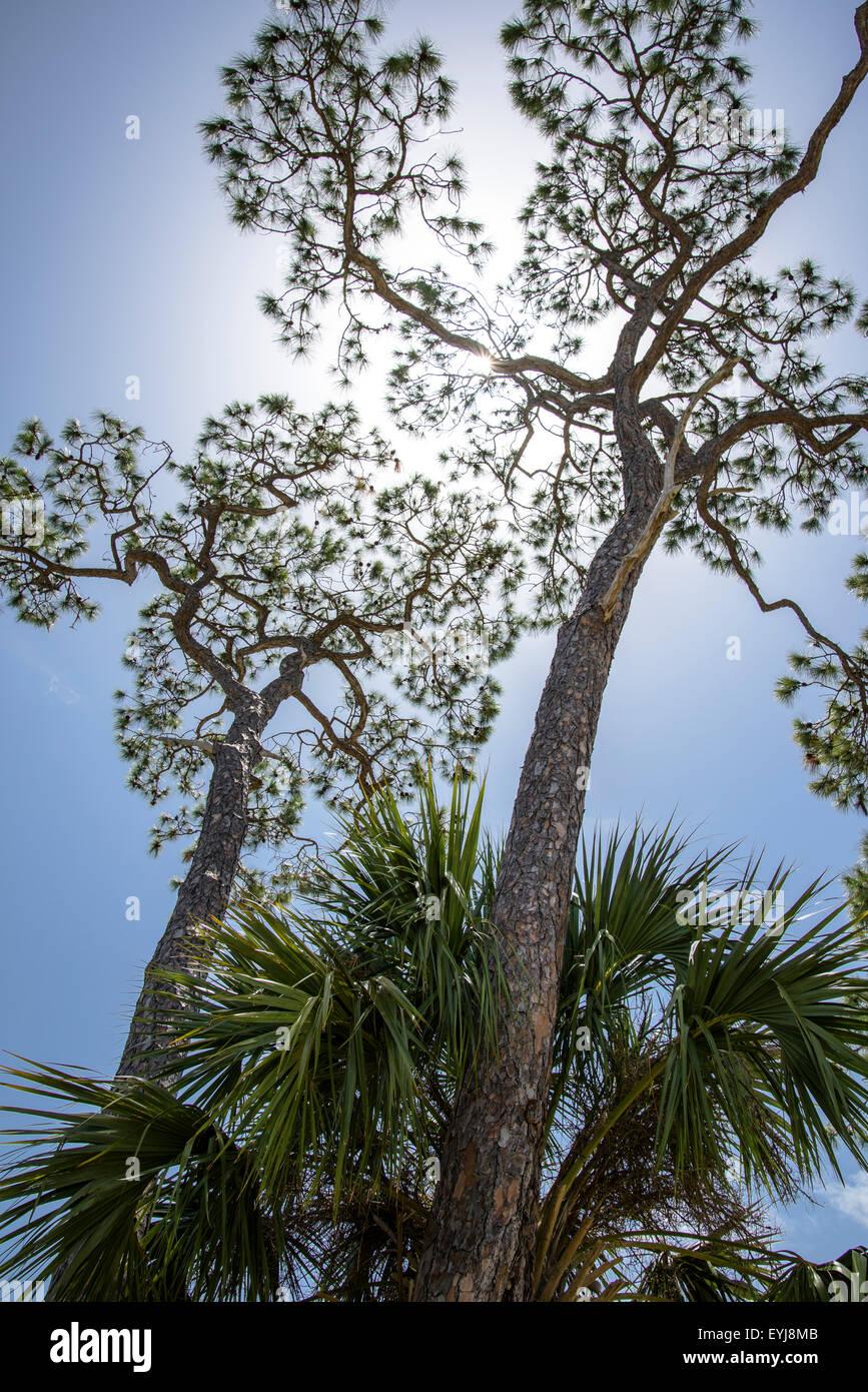 Kiefern gegen blauen Himmel, Big Bend Area, Florida Stockbild