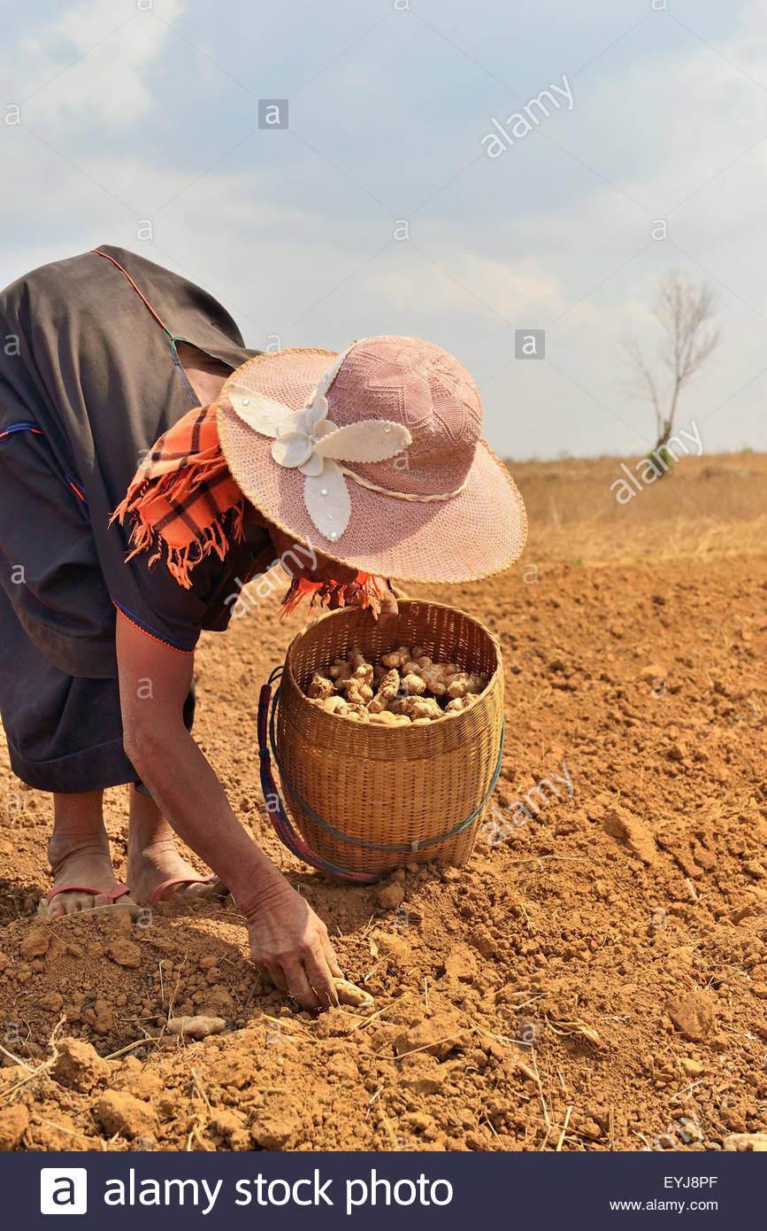 Bauer-Frau bei der Feldarbeit in Shan-Staat von Myanmar, Ingwer Pflanzen konstant arbeitenden Rücken zeigte Stockbild