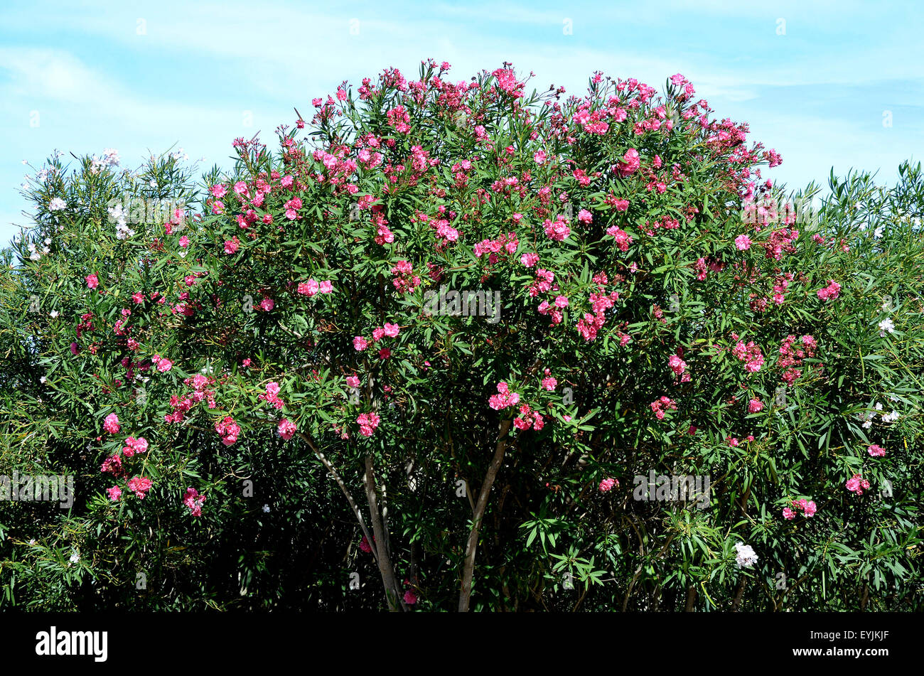 sardinien ita ly baum oleander nerium oleander stockfoto bild 85847735 alamy. Black Bedroom Furniture Sets. Home Design Ideas