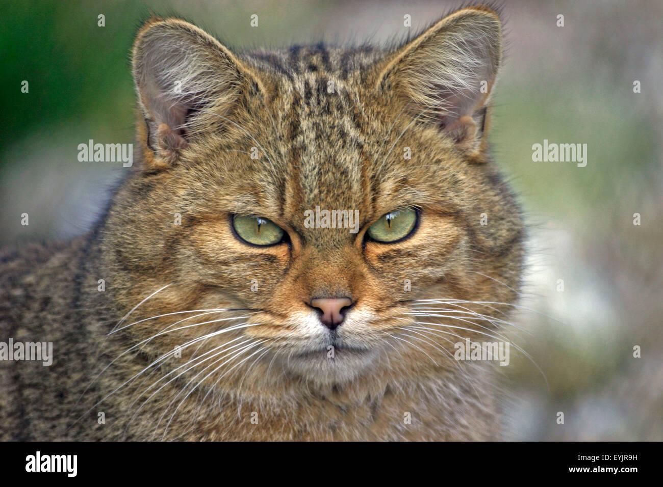 Europaeische Wildkatze, portraet | europäische Wildkatze, Hochformat, Nahaufnahme Stockbild