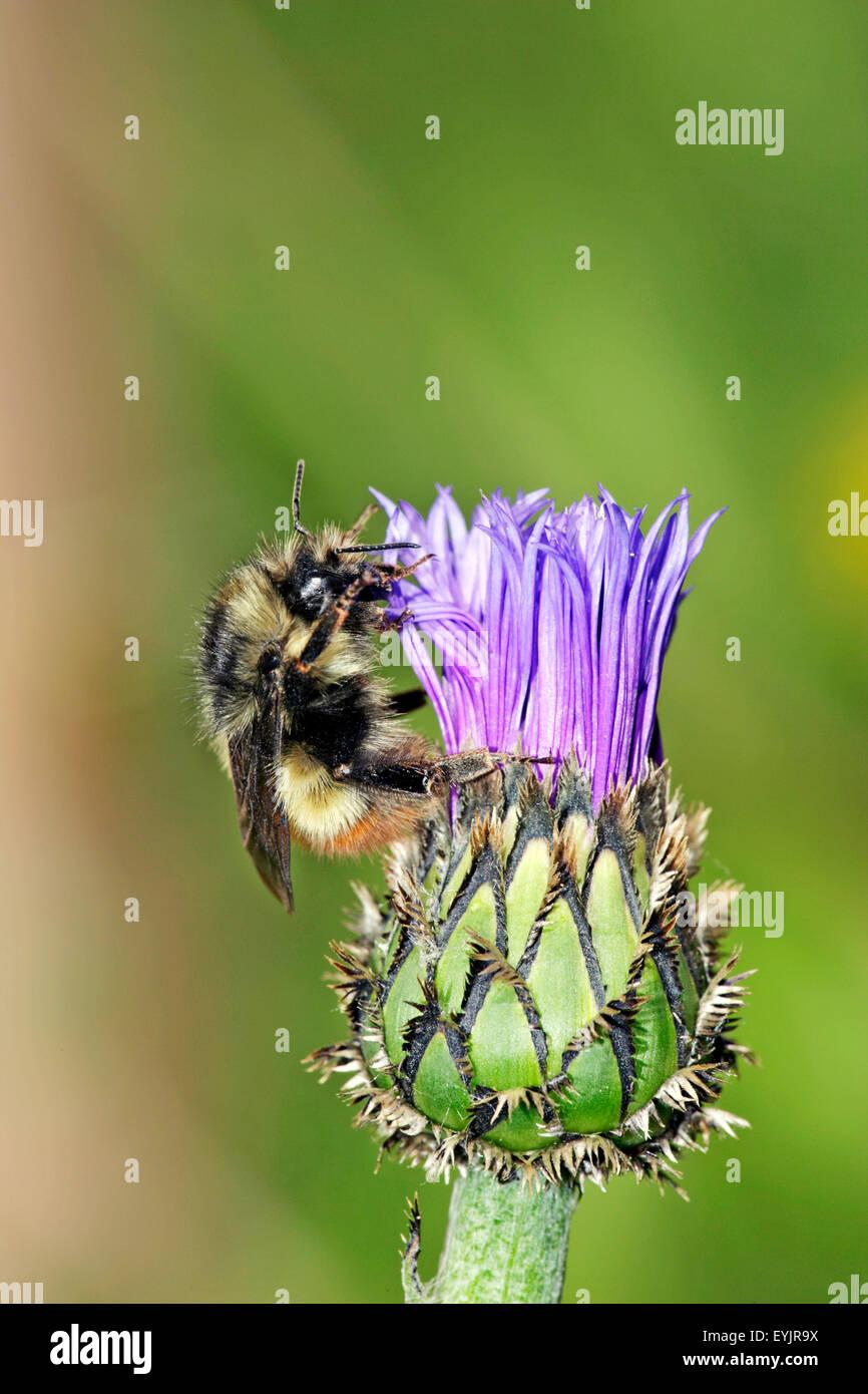 Bumblebee Fütterung auf kornblume Stockbild
