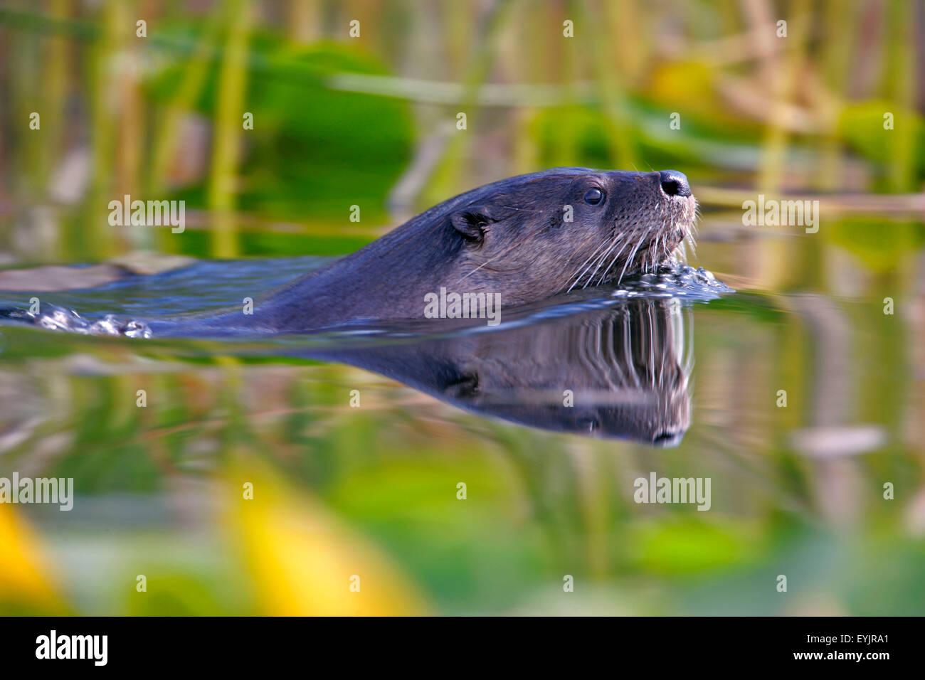 River otter Schwimmen im See, Nahaufnahme Stockbild