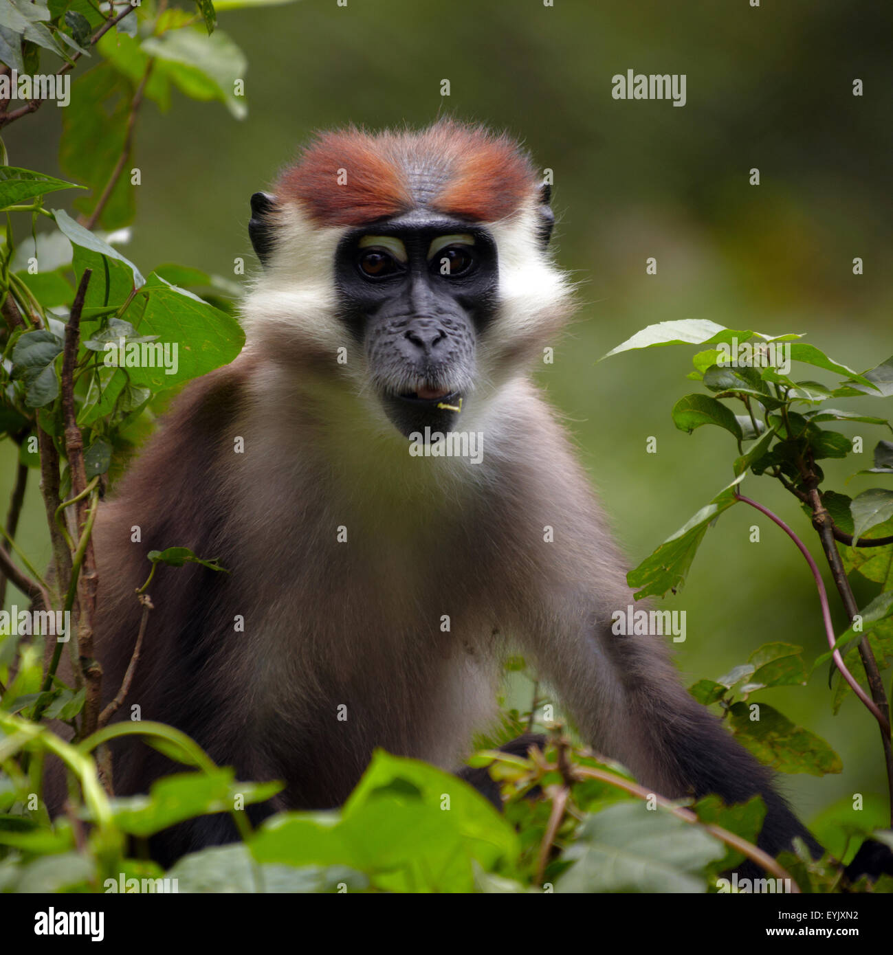 monkey images stockfotos monkey images bilder alamy. Black Bedroom Furniture Sets. Home Design Ideas