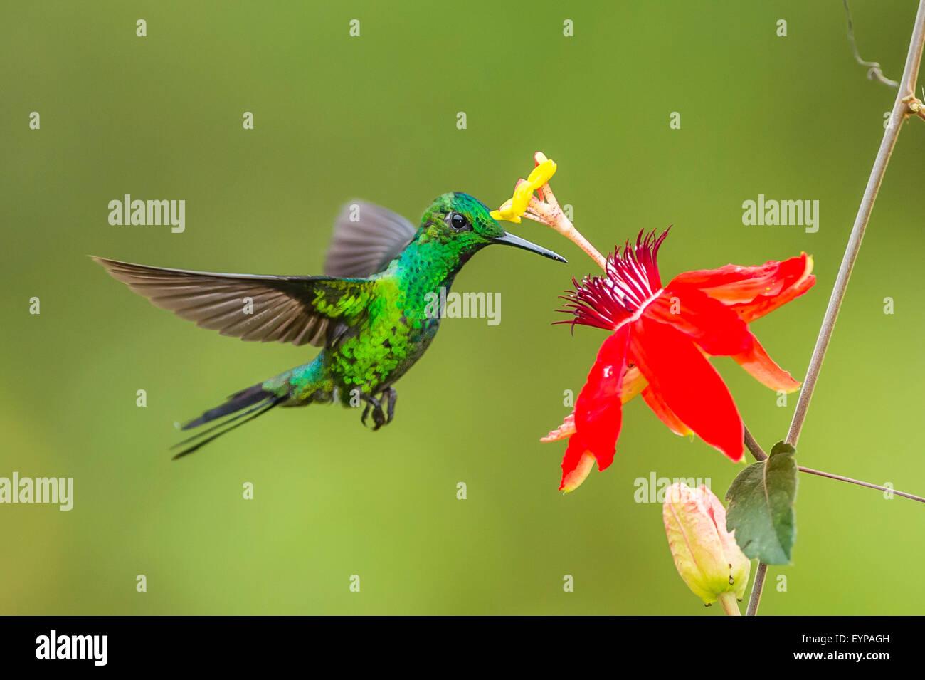 Eine brillante Kolibri Green-Crowned Fütterung Stockbild