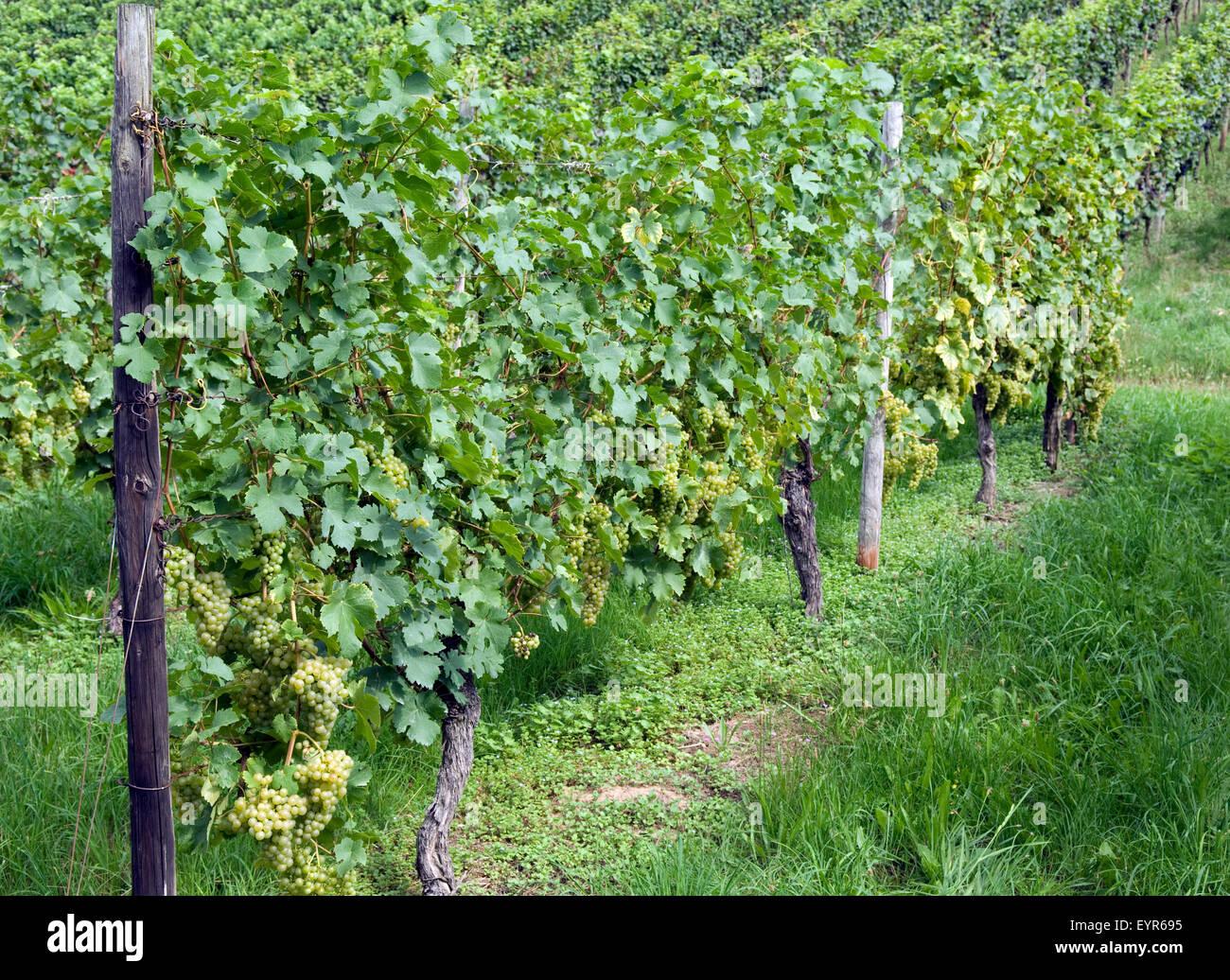 Weinberg, Fendant; Gutedel, Wein, Weinpflanzen, Reben, Fruechte, Beeren, Obst,- Stockbild