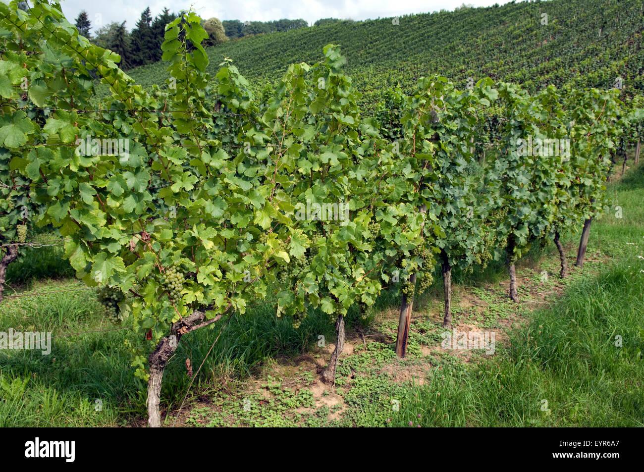Weinberg, Gruener Veltiner, Wein, Weinpflanzen, Reben, Fruechte, Beeren, Obst,- Stockbild
