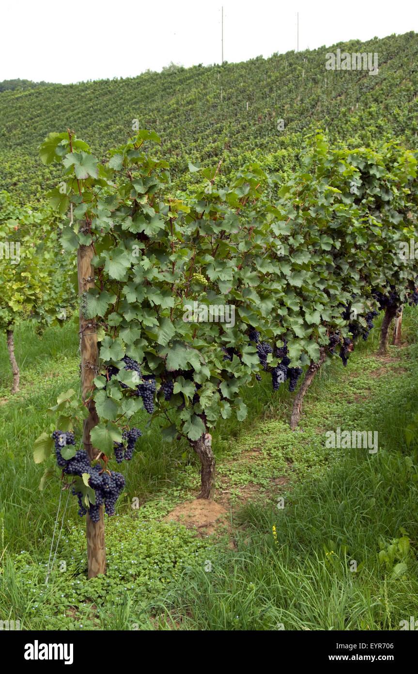 Weinberg, Zweigeltrebe, Wein, Weinpflanzen, Reben, Fruechte, Beeren, Obst, Stockbild