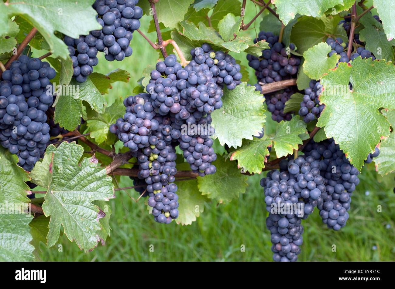 Zweigeltrebe, Blauer Zweigelt, Wein, Weinpflanzen, Reben, Fruechte, Beeren, Obst,- Stockbild