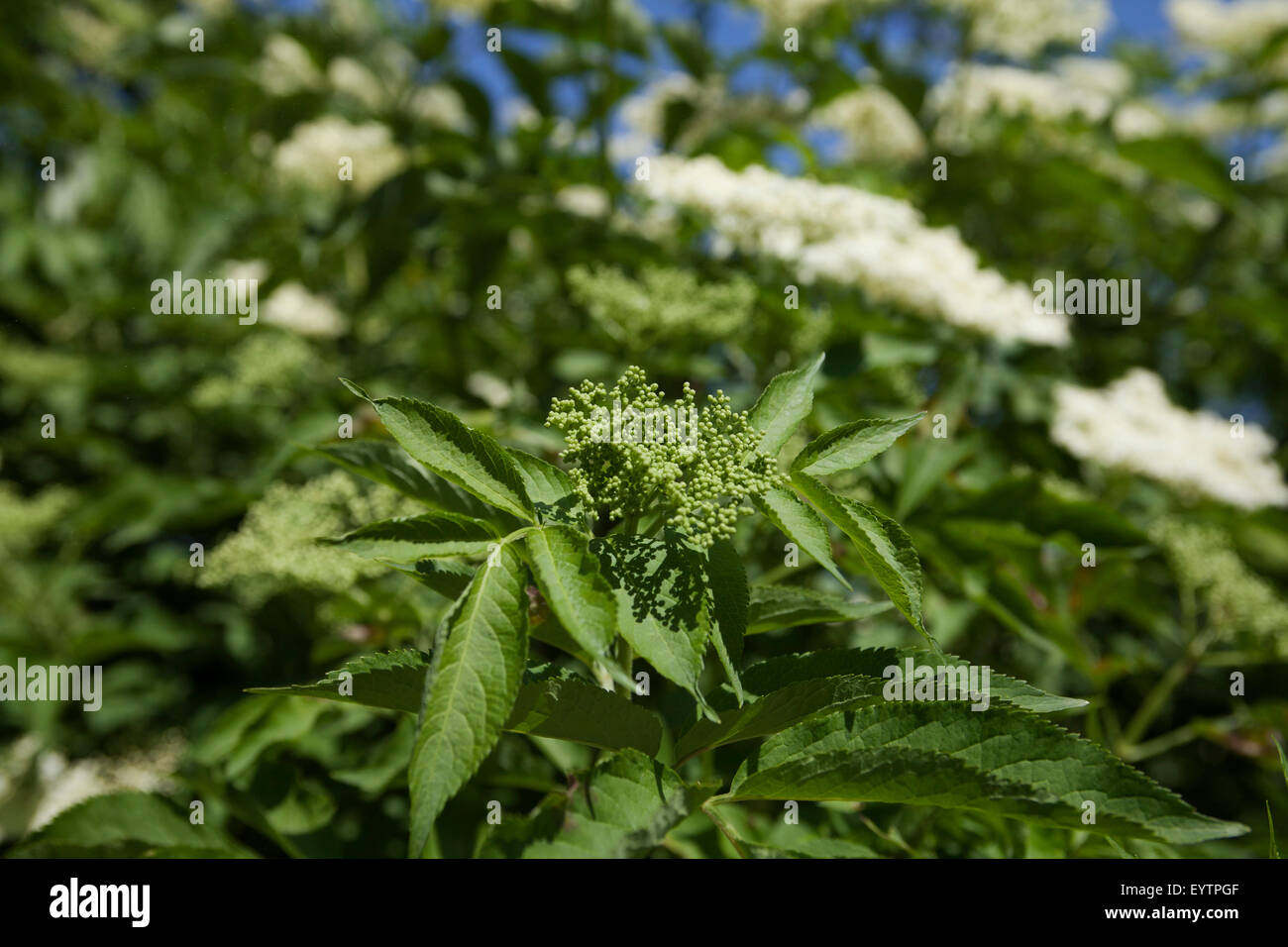 holunderbl ten sambucus moschus kraut pflanzen adoxaceae stockfoto bild 85981743 alamy. Black Bedroom Furniture Sets. Home Design Ideas