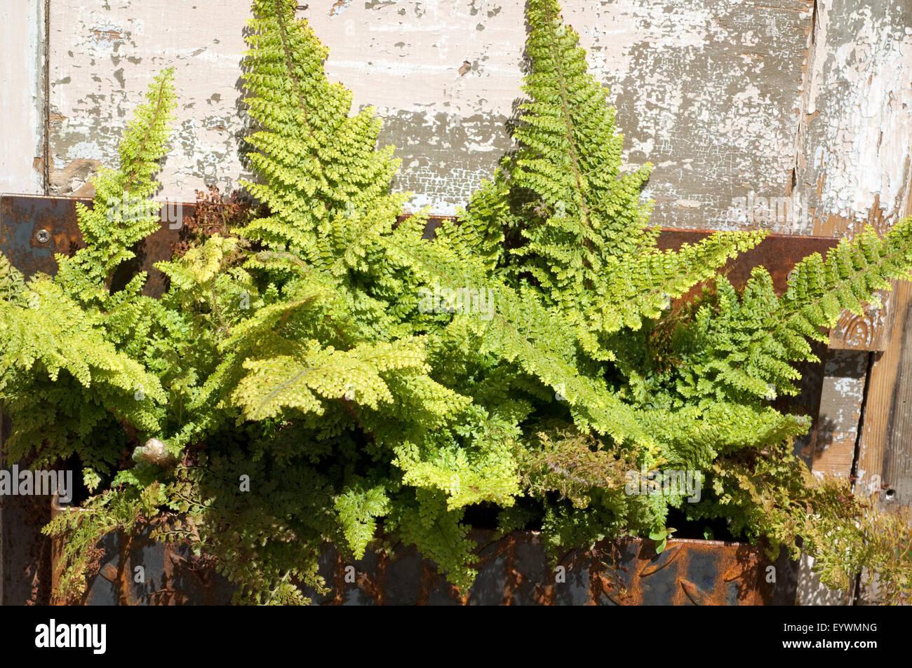 Grabbepflanzung, Krauser Wurmfarn, Dryopteris Filix-Mas, Stockbild