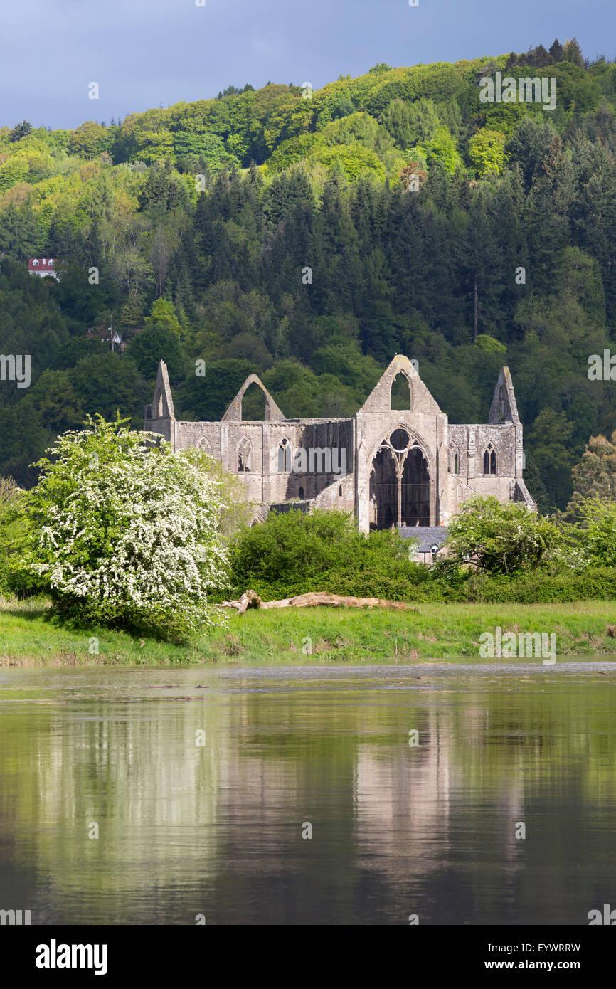 Ruinen von Tintern Abbey River Wye, Tintern, Wye Valley, Monmouthshire, Wales, Vereinigtes Königreich, Europa Stockbild
