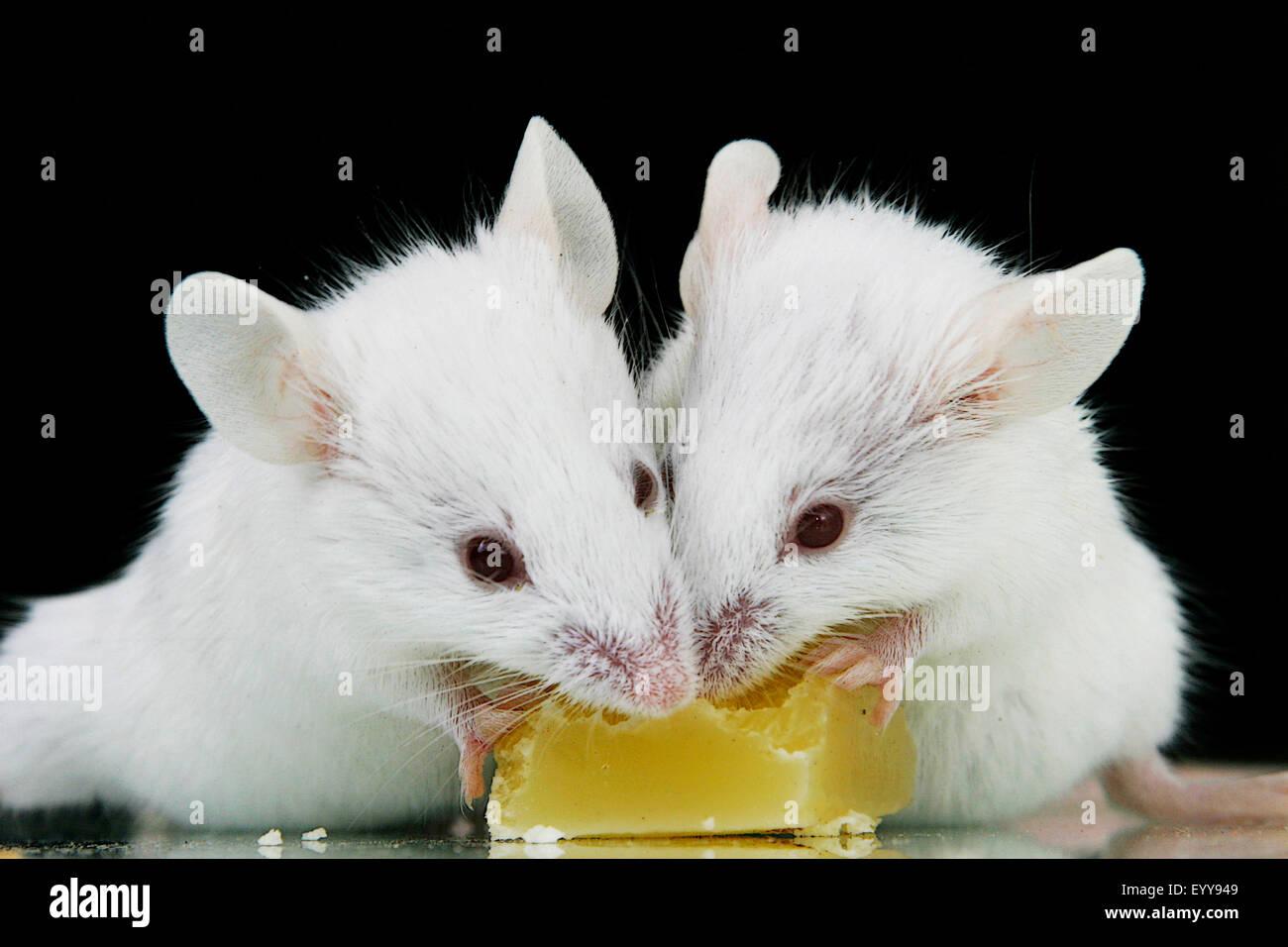 Mice Rodents Stockfotos & Mice Rodents Bilder - Alamy