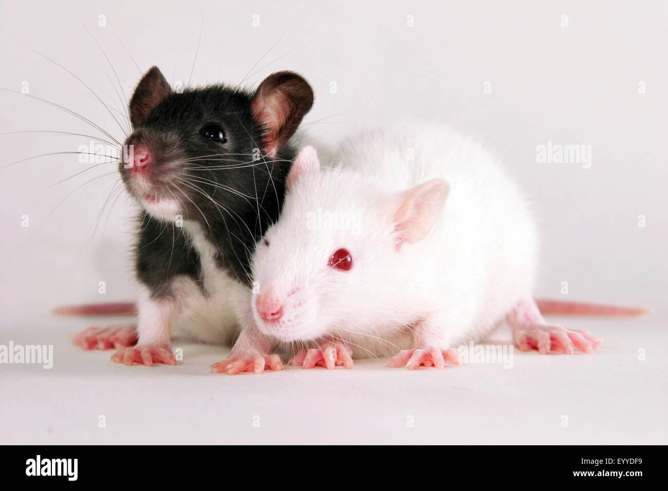 Ratten (Rattus spec.), zwei junge Ratten Stockbild