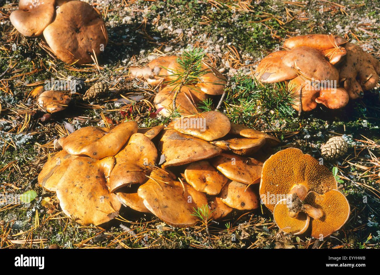 Suillus stockfotos suillus bilder alamy for Boden deutschland