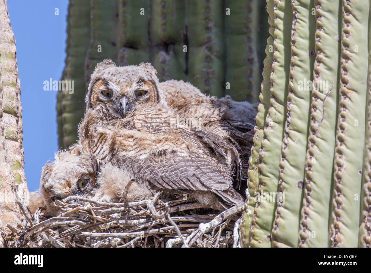 große gehörnte Eule (Bubo Virginianus), Jungvögel im Nest in einem Saguro, Phoenix, Arizona, USA Stockbild