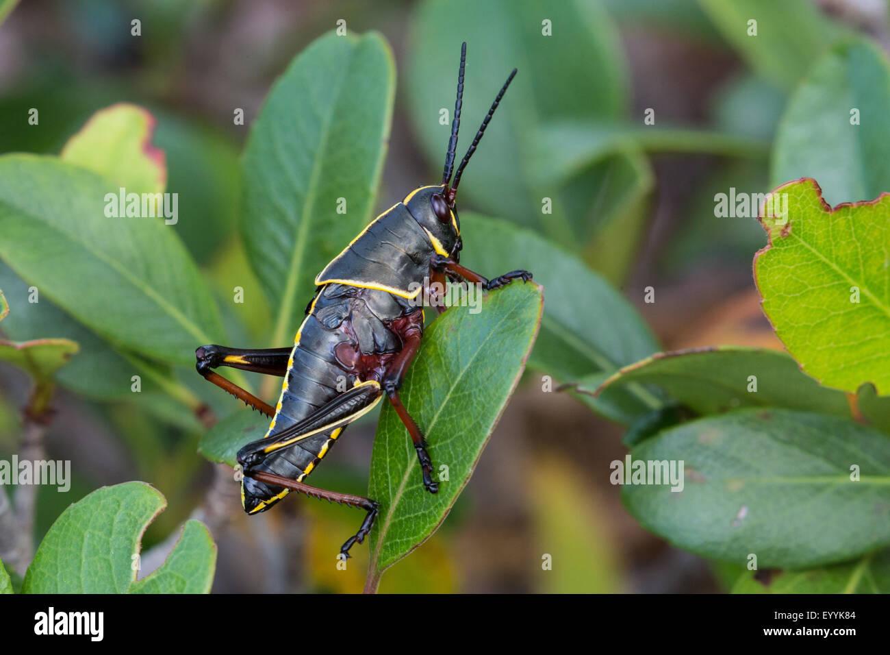 Östlichen Lümmel Grashüpfer (Romalea Microptera), Nymphe, USA, Florida Stockbild