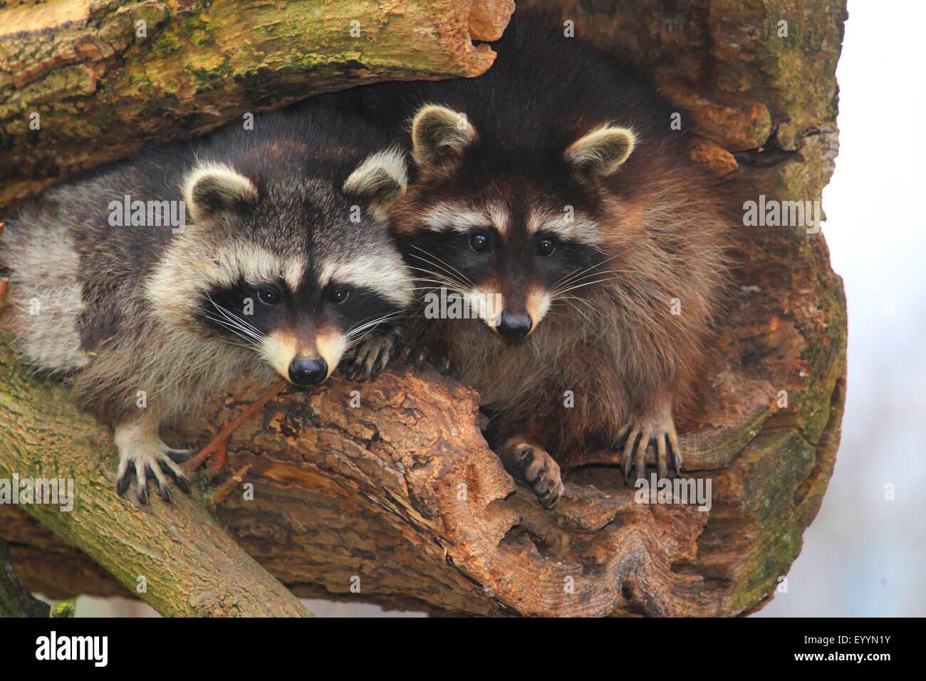 gemeinsamen Waschbär (Procyon Lotor), sitzen zwei Waschbären auf einen alten Baum, Deutschland Stockbild